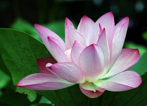 lotusz1.jpg